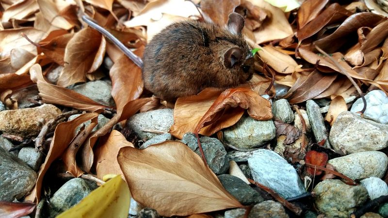 Mouse Field Mouse Cutie This Guy Nature Photography Nature Beauty Naturelover Leaves Stones Beauty In Nature Beautiful New Friend Fallen Leaves Colours Hat Animals Animal Photography Tiny Hats
