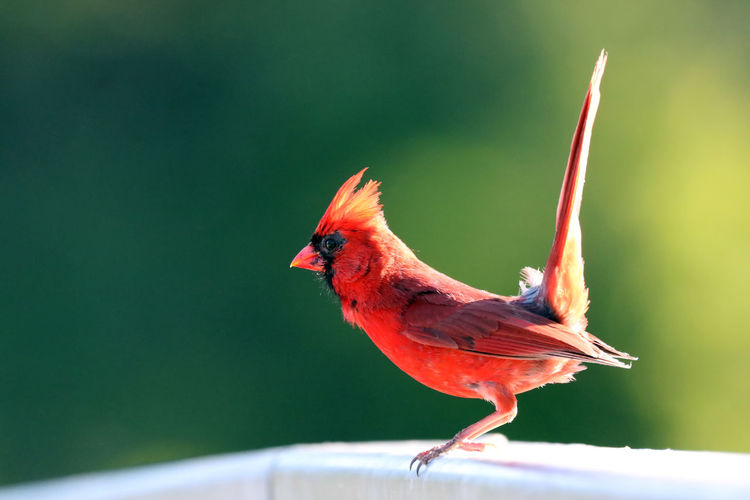 Northern Cardinal EyeEm Best Shots EyeEm Nature Lover EyeEm Selects Animal Animal Themes Animal Wildlife Animals In The Wild Bird Cardinal - Bird Close-up Day Eye4photography  Focus On Foreground Full Length Looking Away Male Animal Nature No People Northern Cardinal Male One Animal Orange Color Outdoors Perching Red Vertebrate