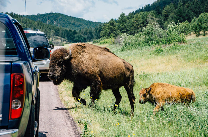 Animal Themes Bison Car Commercial Land Vehicle Day Land Vehicle Mode Of Transport Mountain Nature No People Outdoors Stationary Transportation Two Animals