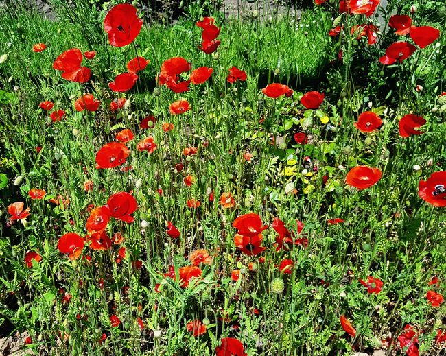 Poppies in the