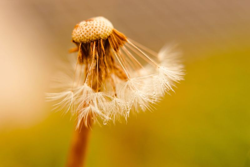 Dandelion Flower Fragility Close-up Flower Head Nature Beauty In Nature No People Focus On Foreground Growth Freshness Plant Backgrounds Copy Space Dandelion Dandelion Seed Sunlight Warm Colors Warm Light Warm Feeling Waterdrops Macro Beauty Macro Nature Day Outdoors Animal Themes
