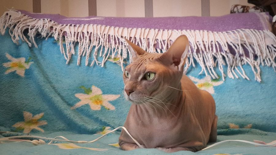 Close-Up Of Sphynx Hairless Cat On Resting Bed At Home