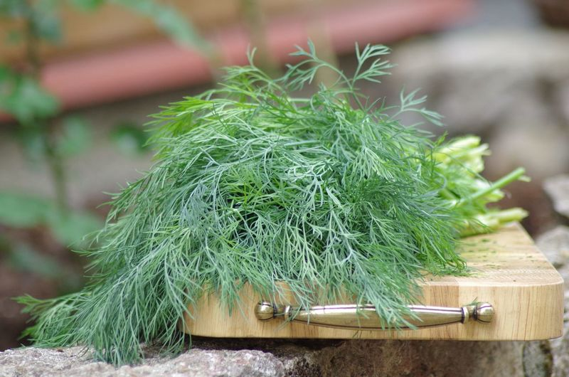 Summer Kitchen Trencher Cutting Board Dillweed Dill Green Color Focus On Foreground Plant Nature No People Day Growth Herb Outdoors Trencher Cutting Board Dillweed Dill Green Color Focus On Foreground Plant Nature No People Day Growth Herb Outdoors