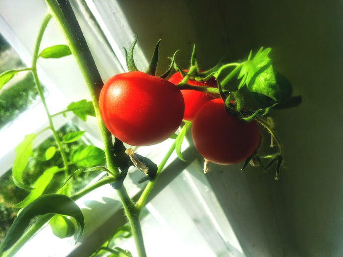 Tomato plant Agriculture Countryside Crop  Farming Food Fresh Garden Green Greengrocer Greenhouse Harvest Health Juicy Kitchen Leaves Nature Nutrition Organic Produce Red Ripe Round Shiny Tomato Vegetables