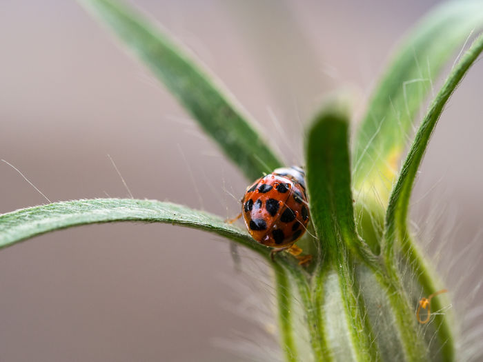 Ladybug on blade of grass Animal Themes Animal Wildlife Animal Ladybug One Animal Insect Beetle Invertebrate Animals In The Wild Close-up Plant Nature Leaf No People Spotted Selective Focus Plant Part Green Color Day Red Outdoors Small Crawling Blade Of Grass