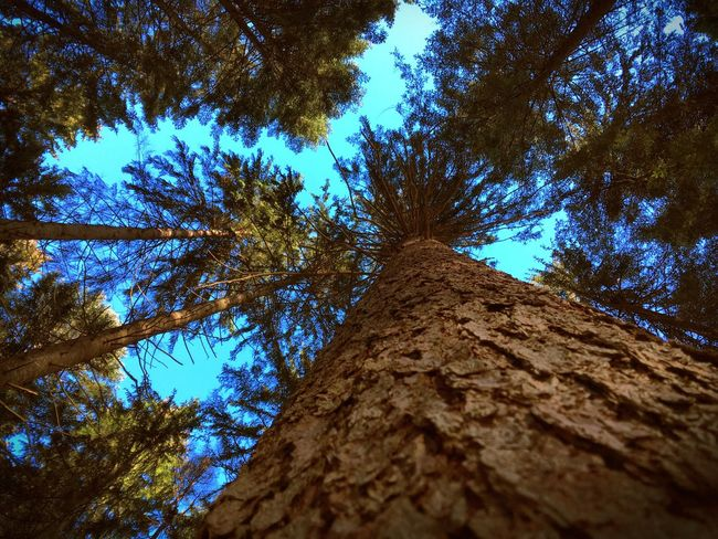 Low Angle View Tree Tree Trunk Growth Branch Tall - High Directly Below Sky Bark Tranquility Nature Scenics Tall Blue Tranquil Scene Day Beauty In Nature Outdoors Green Green Color