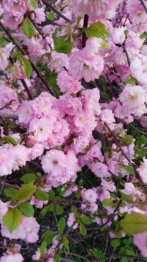 Flowering Almond Tree Spring Flowers Flower Beauty In Nature Pink Color Blossom Flower Head