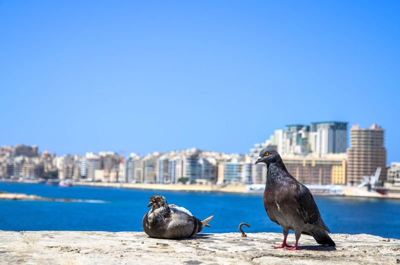 """""""Two is better than one."""" Pigeons in Sliema by the Mediterranean Sea, Malta City Pigeons Doves Two Together Togetherness Mates Friendship Pigeons Birds Blue Water Sea Mediterranean  Copy Space Copy Space In Sky Sky Blue Sky Animal Themes Bird Architecture Built Structure Animal Wildlife City Clear Sky Day Outdoors Blue Retaining Wall Cityscape No People Perching"""