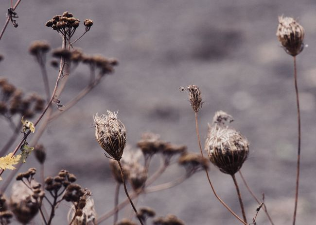 wild carrots and tansy wildflowers in the wind Autumn Copy Space Field Queen Anne's Lace The Week On EyeEm Beauty In Nature Beauty In Nature Change Close-up Cold Dried Plant Dry Flora Flower Garden Growth Nature Outdoors Plant Season  Tansy Thistle Wild Carrot Wilderness Wind