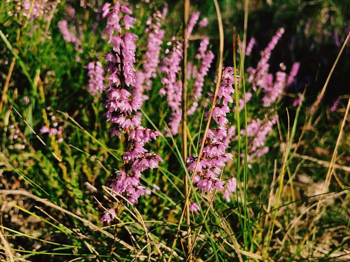 Close-up of heather flowers