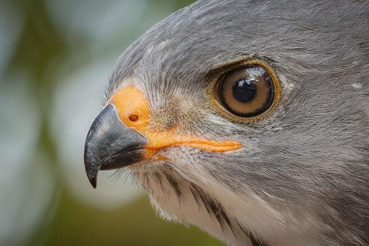 The lizard buzzard or lizard hawk, is a bird of prey in the family accipitridae.