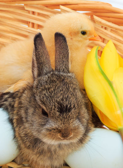 Easter basket Pets Animal Themes Baby Animals Bunny Love Cute Animals Baby Bunny Peter Cottontail Bunny Rabbit Baby Rabbit Animal Chicks Baby Chick Easter Basket