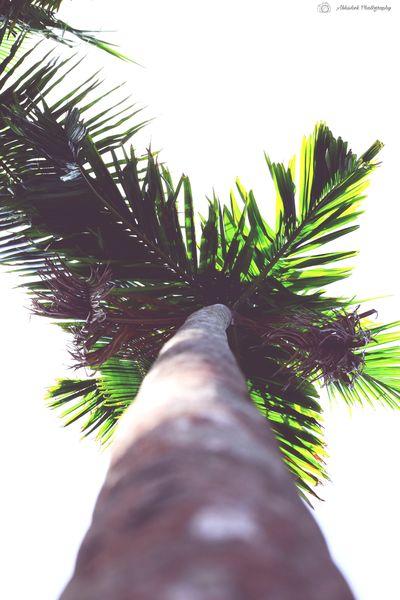 Nature Tree Palm Tree Clicked On Nikon D3300