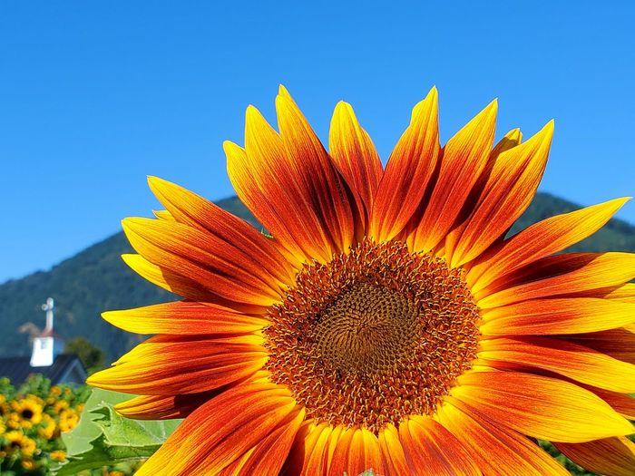 Close-up of sunflower against orange sky