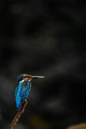 Close-up of kingfisher perching on a branch