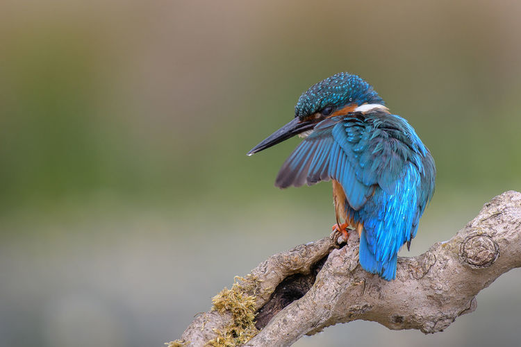 Kingfisher Mean