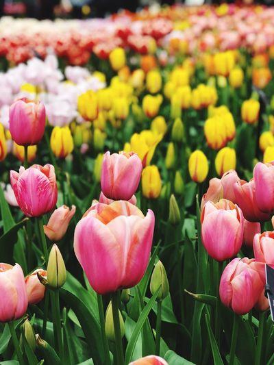 EyeEmNewHere Keukenhof Dutch Landscapes Flower Flowering Plant Freshness Plant Beauty In Nature Vulnerability  Fragility Petal Tulip Close-up Pink Color