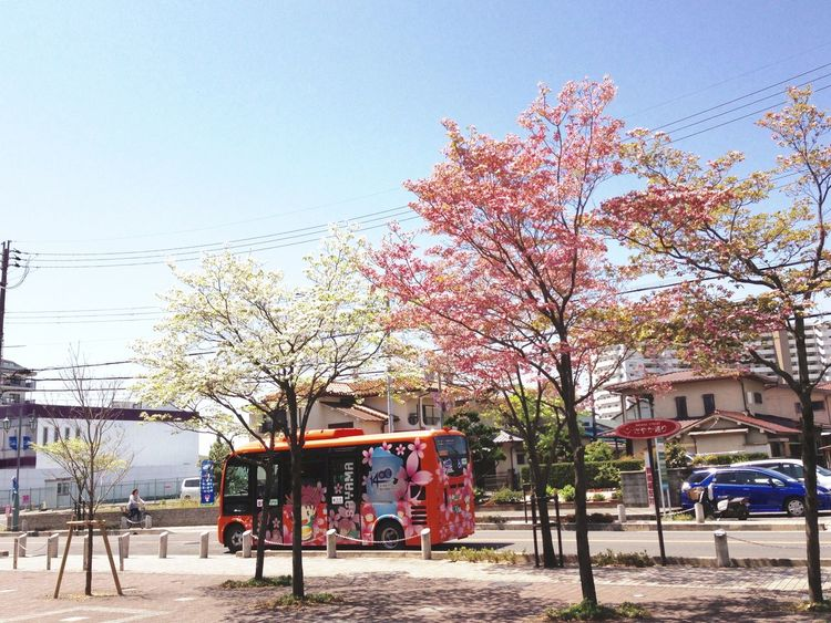バスも桜模様 Cherryblossom 🌸 Bus Colorful-bus Commuting Road 咲いているのはハナミズキ♬ Flowering Dogwood
