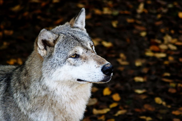 Animals In The Wild Autumn EyeEm Animal Lover EyeEm Nature Lover Animal Head  Animal Themes Animal Wildlife Beauty In Nature Close-up Day Focus On Foreground Mammal Nature No People One Animal Outdoors Portrait Wolf