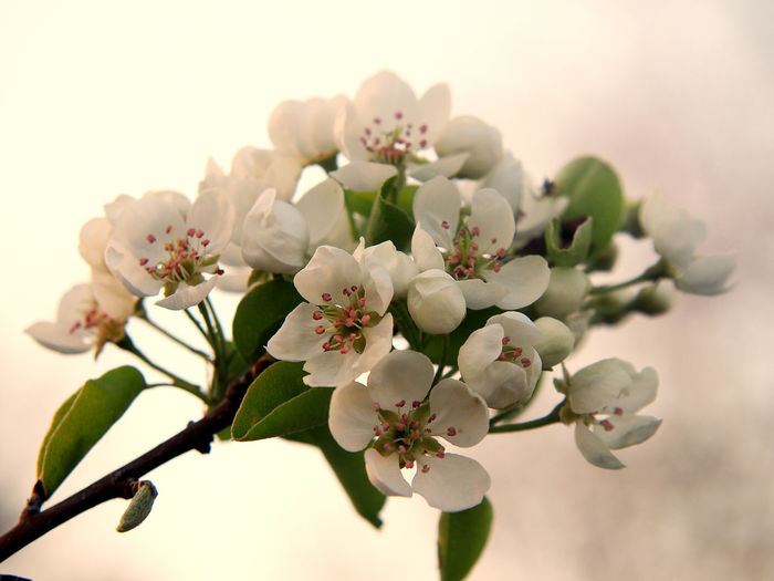 Katarzyna Dziemidowicz Apple Blossom Apple Trees Garden Backgrounds Beauty In Nature Blossom Branch Close-up Day Daylight Flower Flower Head Flower White And Pink Fragility Freshness Garden Growth Nature No People Outdoors Petal Springtime Tree Twig White Background White Color