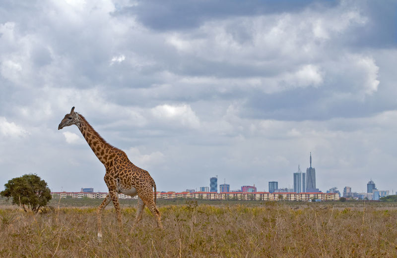 Giraffe On Field Against Cloudy Sky
