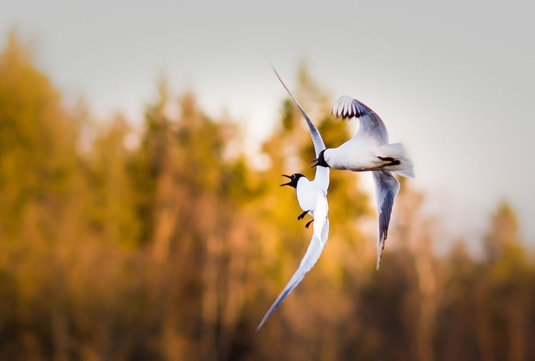 Black-headed gulls flying against trees