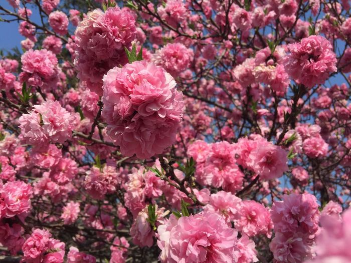 Flower Pink Color Fragility Growth Beauty In Nature Nature Freshness Petal Blossom No People Springtime Backgrounds Tree Outdoors Day Branch Flower Head Close-up Blooming IPhone The Purist (no Edit, No Filter) Spring Spring Flowers