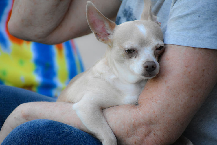 Content Love Relaxing Arm Canine Chihuahua - Dog Dog Domestic Domestic Animals Human Body Part Human Leg Jeans Mammal Men Midsection One Animal One Person Pet Owner Pets Real People Sitting Sleepy Small Summer Days Vertebrate