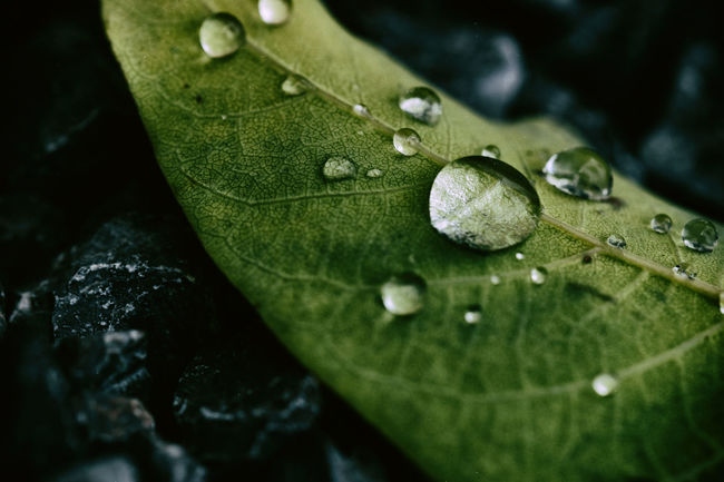 Dew Drops on Leaf Beauty Beauty In Nature Close-up Dark Day Dew Drop Fragility Freshness Garden Green Color Leaf Leaf Vein Morning Nature No People Outdoors Photo Photocats  Photography Plant Rain TRENDING  Water Wet