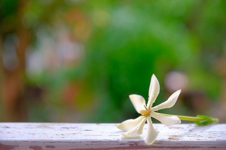 Close-up of white flowering plant on table