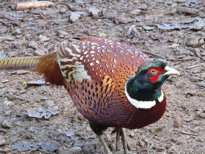 Pheasant Colour