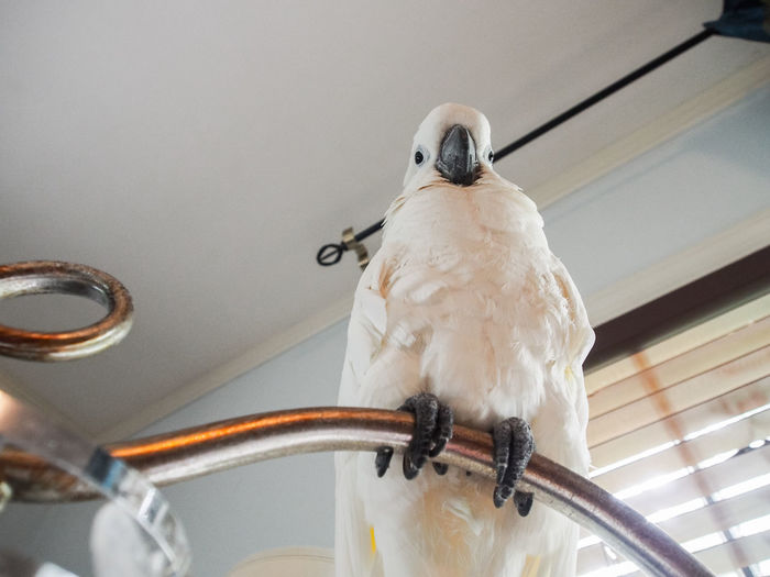 Clara the cockatoo Cockatoo Animal Themes Animal Wildlife Bird Close-up Day Domestic Animals Exotic Pets Indoors  Nature No People One Animal Perching Talons White Color