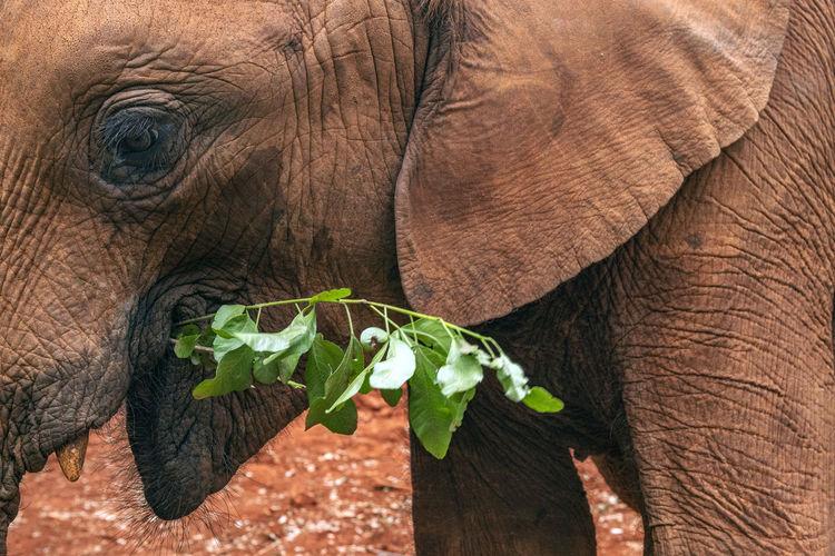 Close-up of elephant eating plant