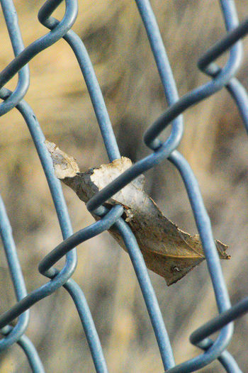 Leaf blown into chainlink fence Chainlink Fence Close Up Day Dry Leaf Evening Metal No People Outdoors