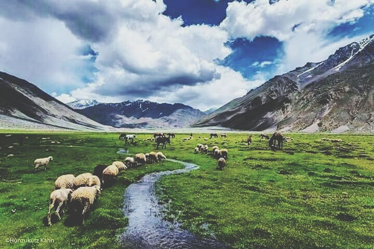 livestock, sheep, domestic animals, grazing, large group of animals, flock of sheep, landscape, cloud - sky, animal themes, scenics, agriculture, green color, nature, grass, mammal, field, outdoors, mountain, rural scene, cow, beauty in nature, sky, no people, day, water