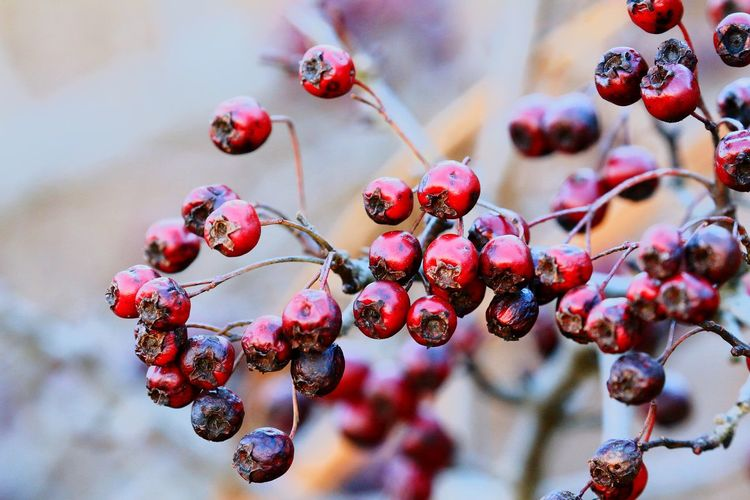 Close-up of rotten berries on tree