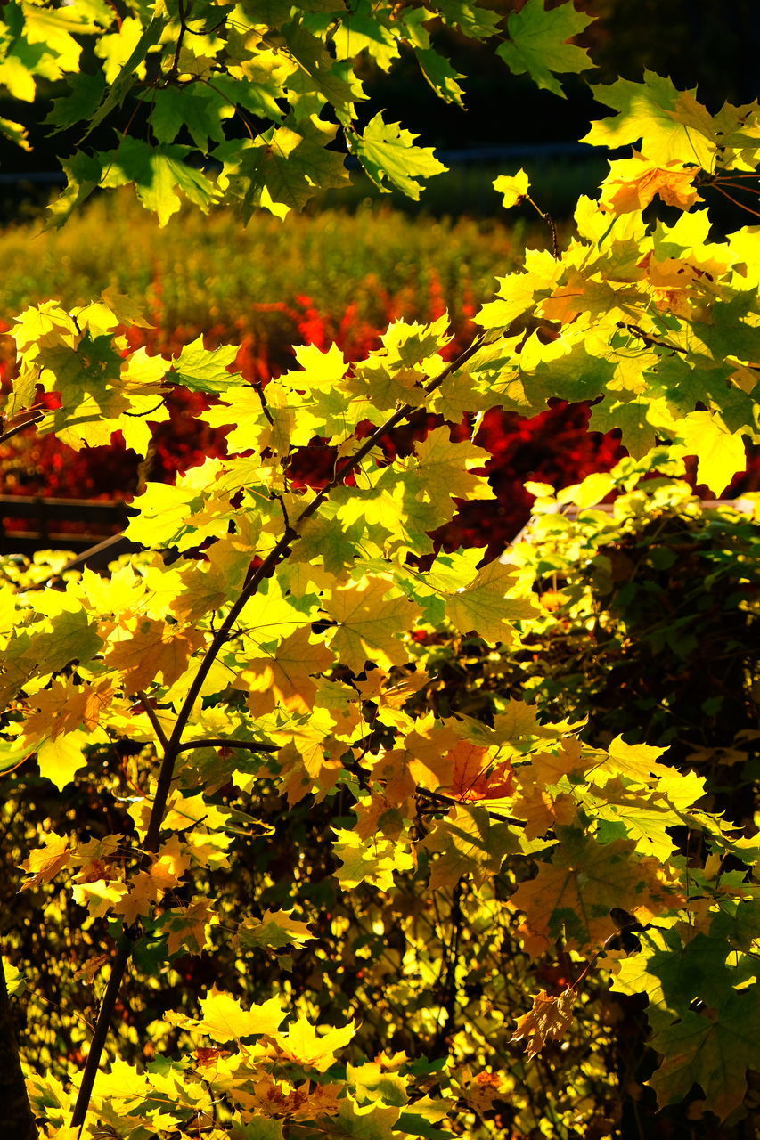 plant, growth, yellow, beauty in nature, plant part, leaf, no people, nature, sunlight, flower, day, outdoors, flowering plant, vulnerability, branch, fragility, close-up, tree, tranquility, freshness