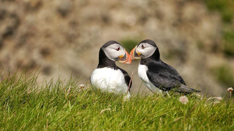 Couple of puffin in love, beak to beak