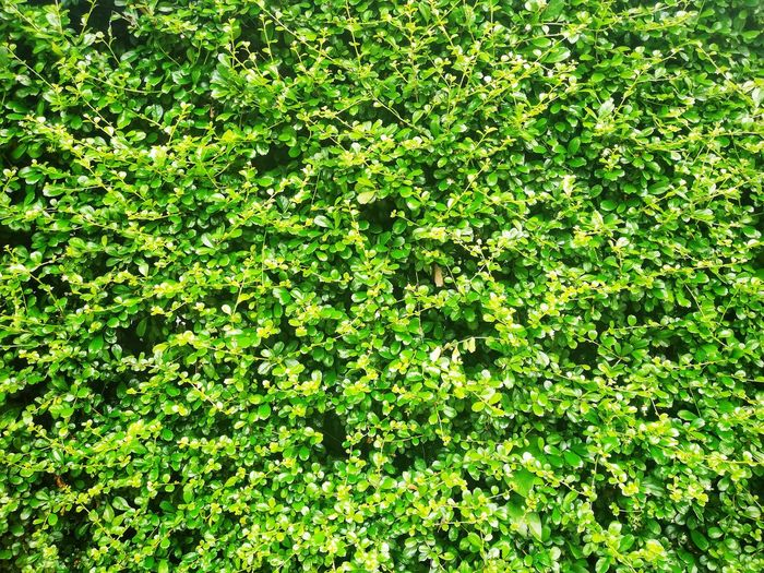 leaf pattern background Plant Green Color Nature Beauty In Nature Growth Foliage Leaf Full Frame Plant Part No People Day Freshness Lush Foliage Outdoors Tranquility Backgrounds Green Sunlight Land Tree Leaves