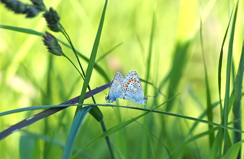 Atmospheric picture / Hauhechel-butterfly Animals In The Wild Beauty In Nature Butterfly Butterfly - Insect Close-up Day Grass Hauhechel Insect Kopulation Meadow Nature No People Outdoors Paarung Pairing POLYOMMATUS ICARUS Stimmungsbild Wiese