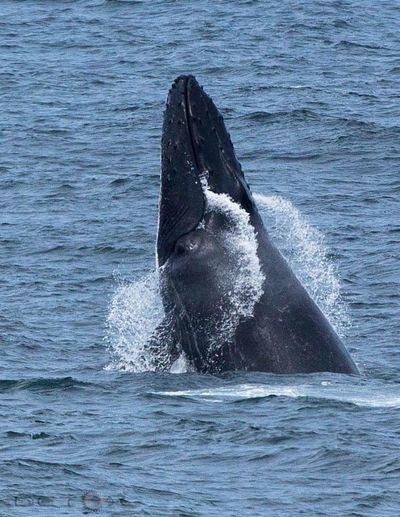 Whale breach on