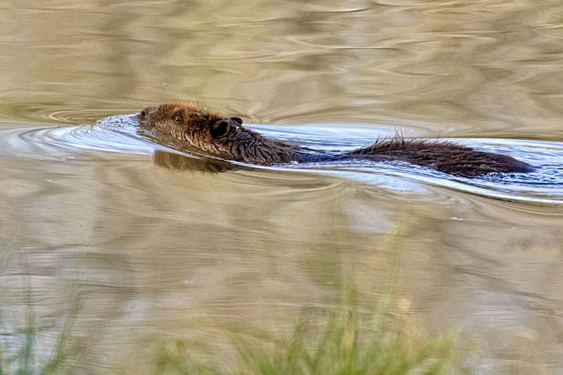 Beaver swimming away Beaver Swimming Away