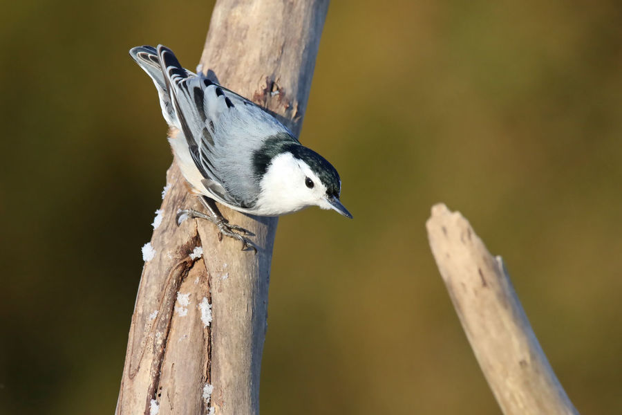 Nuthatch Animal Themes Animal Wildlife Animals In The Wild Bird Close-up Day EyeEm Nature Lover Nature No People One Animal Outdoors Perching Tree Trunk White-breasted Nuthatch Wood - Material Wooden Post