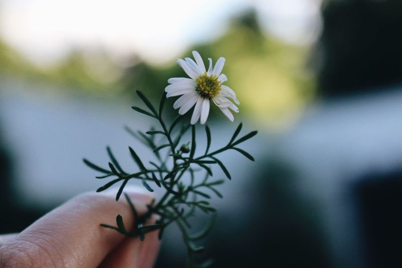 Flower Flowering Plant Plant Hand Human Hand Human Body Part Focus On Foreground Fragility One Person Holding Freshness Finger Close-up Human Finger Nature Beauty In Nature
