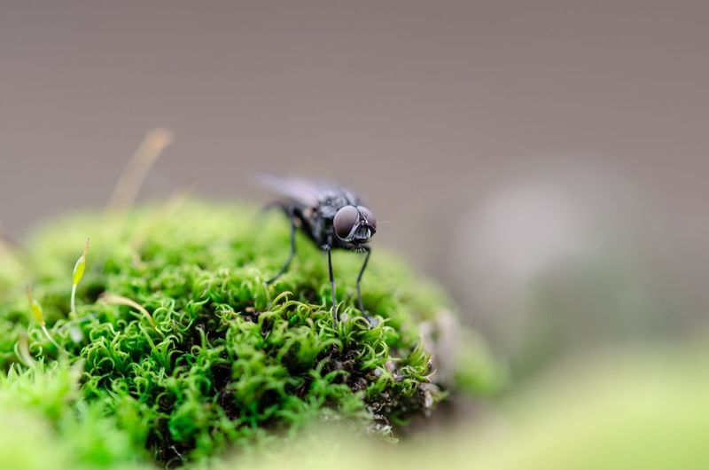 Close-Up Of Housefly On Moss