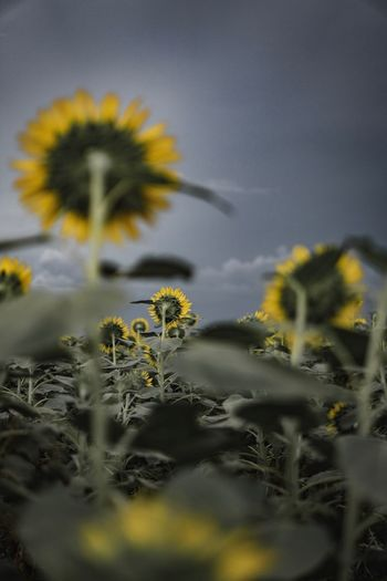 Plant Growth Flower Yellow Flowering Plant Selective Focus Nature Inflorescence Outdoors Cloud - Sky Sunflower Tranquility No People Freshness Vulnerability  Flower Head Fragility Beauty In Nature Close-up Sky
