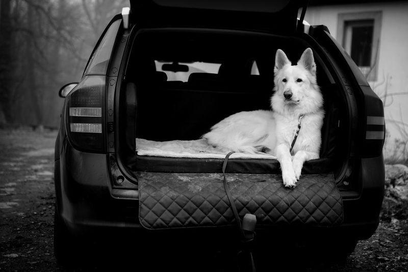 Bnw_friday_eyeemchallenge Bnw_dogs  Dog Car One Animal Animal Themes No People Outdoors Day Dog In Car White ShepherdDog