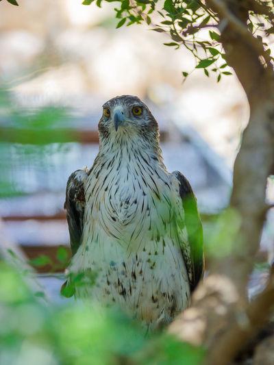 Long-legged buzzard looking away by tree
