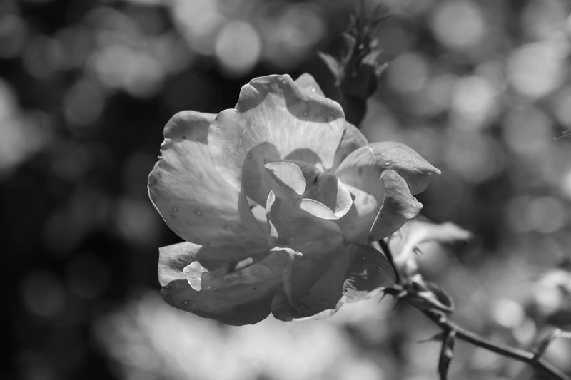 A Rose in Black & White black and white friday EyeEm Selects Flowering Plant Flower Beauty In Nature Plant Fragility Vulnerability  Petal Growth Freshness Close-up Flower Head Inflorescence Focus On Foreground Nature Day No People Outdoors Rosé Sunlight