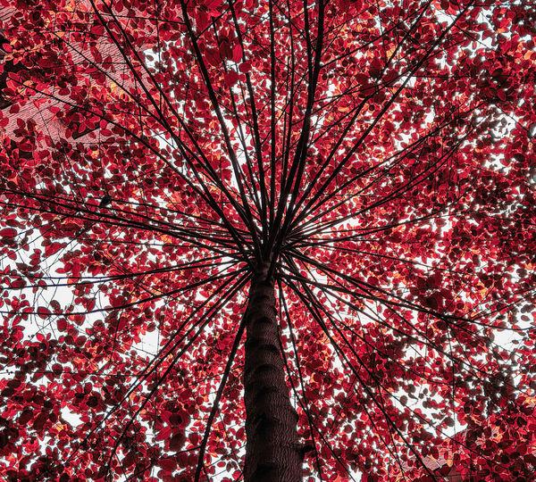 Tree Red Branch Full Frame Tree Trunk Sky Tree Canopy  Canopy